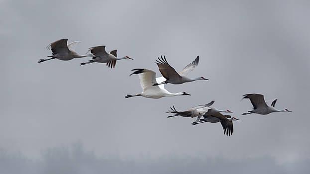 Susan Rissi Tregoning - Cranes Flying