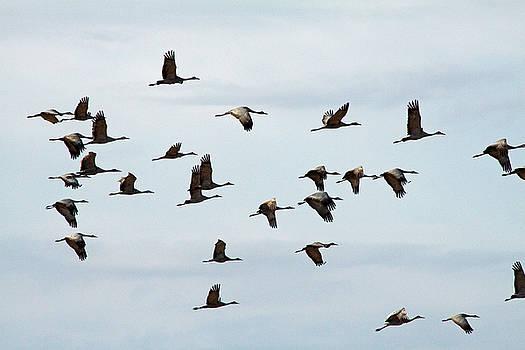 Cranes in Flight by Dan Lease