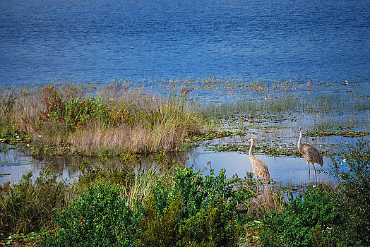 Cranes in the Wetlands by Adele Moscaritolo