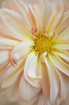 Creamsicle Dahlia by Kathleen Clemons