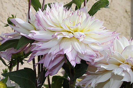 Sandra Foster - Creamy Dahlias With Lavender Fringed Petals