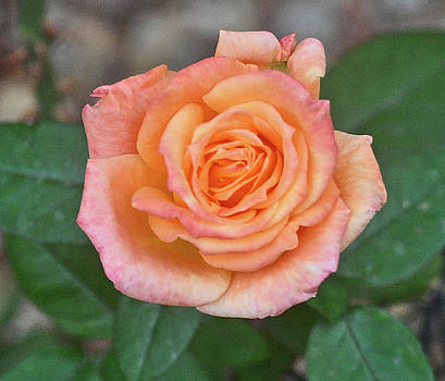 Creamy Pink Rose by Jay Milo
