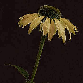 Creamy Yellow Coneflower by Sandra Foster