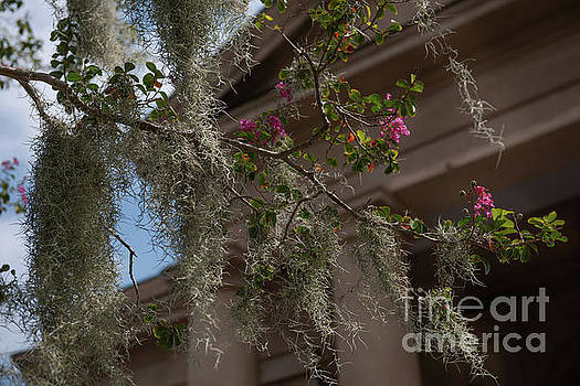 Dale Powell - Crepe Myrtle and Spanish Moss