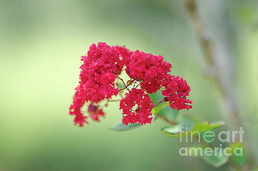 Crepe Myrtle Spring Blooming  by Dale Powell