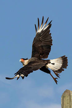 Crested Caracara  by Kelly Kennon