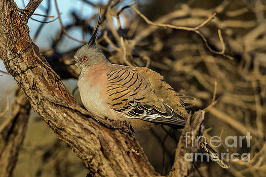 Crested Pigeon by Werner Padarin