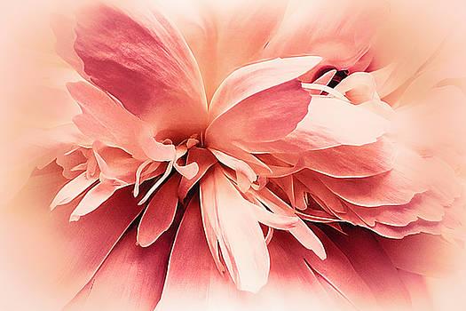 Crimson Ballet Powder Puff by Darlene Kwiatkowski