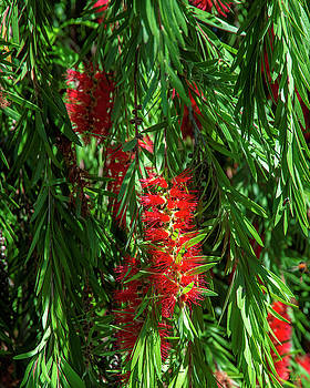 Crimson Bottlebrush or Lemon Bottlebrush DTHN0221 by Gerry Gantt