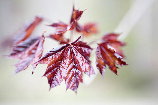 Crimson Spring Growth of Red Maple Leaves by Scott Leslie