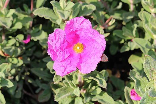 Lucie Buchert - Crinkle Pink Flower