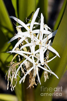 Crinum Spiderlily Flower by Jorgo Photography - Wall Art Gallery
