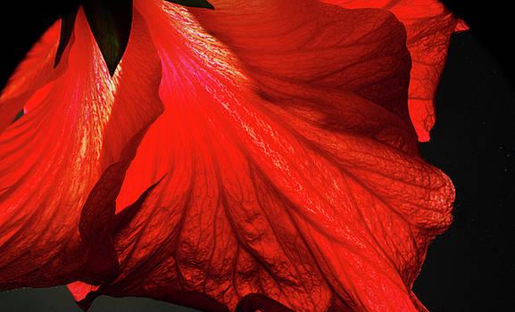 Crisp Hibiscus Petals by Larry Jost