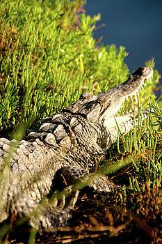 Jonathan Hansen - Crocodile 1