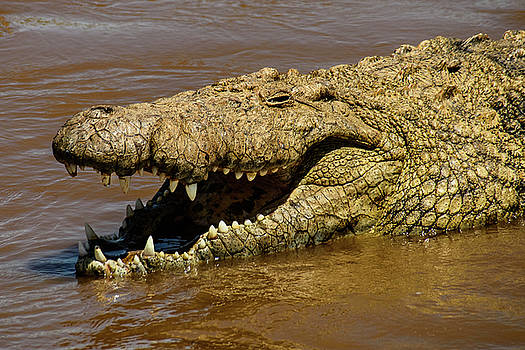 Crocodile Grins on the Mara River by Janis Knight