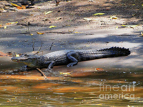 Crocodile In Costa Rica by Al Bourassa