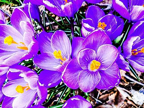 Crocus Explosion by Rachel E Moniz