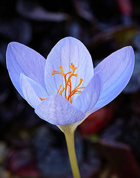 Crocus by Garden Gate