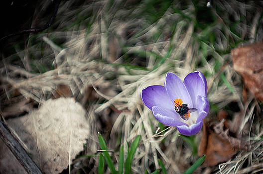 Crocus by Kevin Heussner