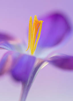 Crocus Stand Proud  by Diane Fifield