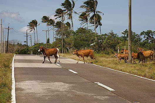 Crossing cattle.  by Christopher Rowlands