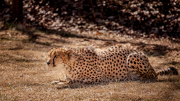 Crouching Cheetah by Keith Allen
