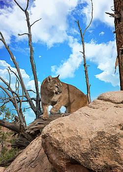 Crouching Cougar by Roy Nierdieck