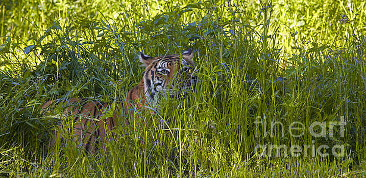 Crouching Tiger by Keith Kapple