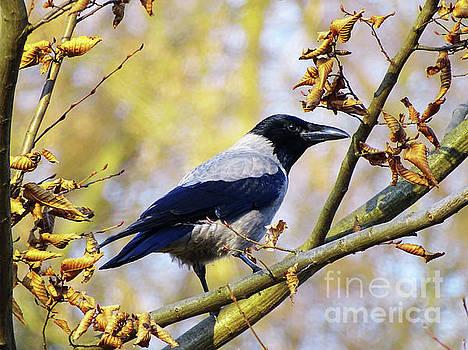 Crow  by Jasna Dragun