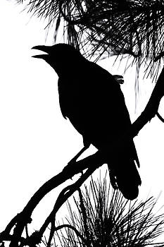 Crow Silhouette by Patricia Schaefer