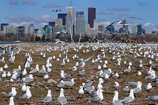 Reimar Gaertner - Crowd of Ring Billed Gulls at Leslie Street Spit nesting grounds