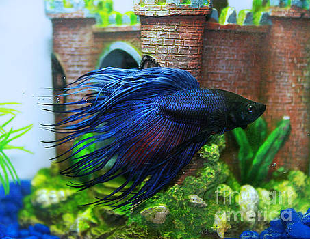 Crowntail Betta by Lynn Jackson