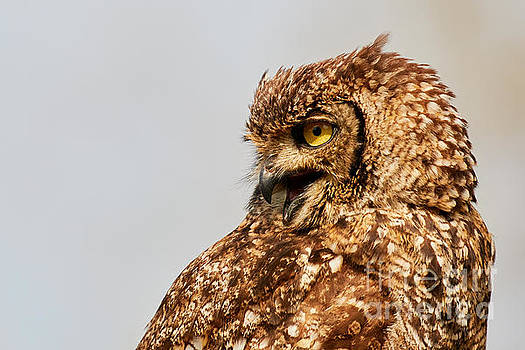 Crying Spotted eagle-owl  by Nick Biemans