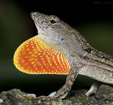 Cuban Anole Displaying by Warren Sarle
