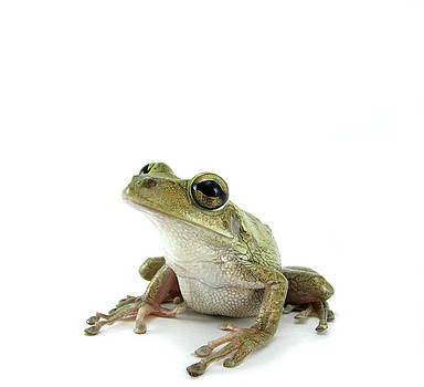 Cuban Tree Frog by Marcus M Jones