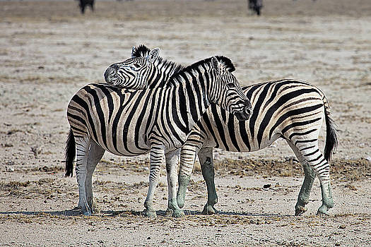 Cuddling Zebras in Etosha National Park Namibia by Martin Wackenhut