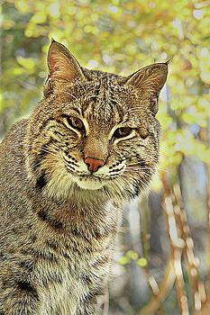 Curiosity the Bobcat by Jessica Brawley