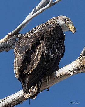 Curious Bald Eagle by Stephen Johnson