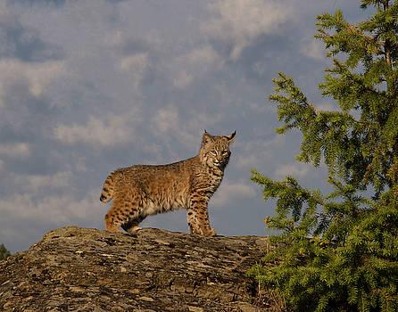 Curious bobcat by Roy Nierdieck