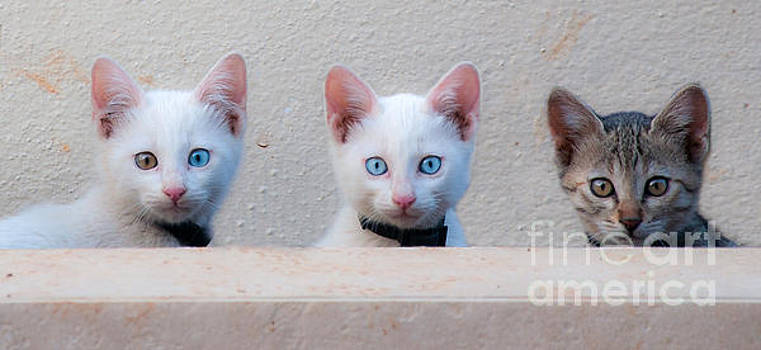 Curious Cats by Selim Aydin