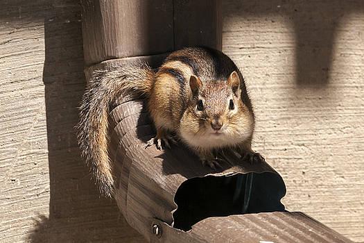 Curious Chipmunk by Liza Eckardt