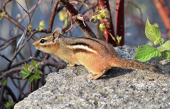 Curious Chipmunk by Maria Keady