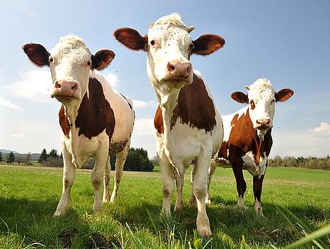 Curious Cows by Hans Kool