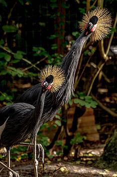 Curious Crown Cranes by Tito Santiago