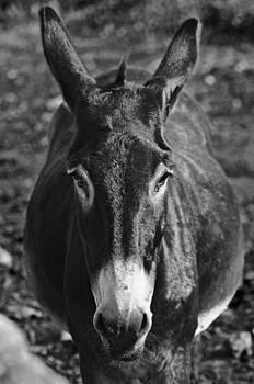 Pedro Cardona Llambias - Curious donkey