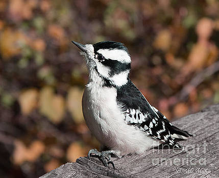 Barbara McMahon - Curious Downy Woodpecker