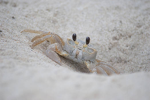 Ghost Crab   by Carla Mason