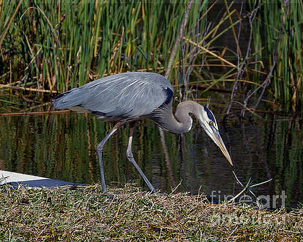 Curious Great Blue Heron by Catherine Sherman