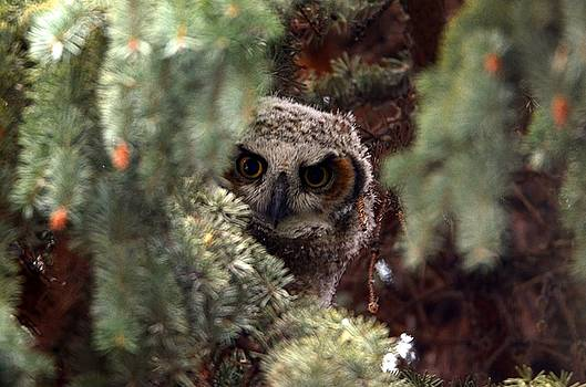 Curious Great Horned Owl by Ian Harland