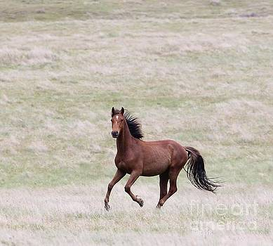 Curious Kaimanawa Stallion by Judy Watson